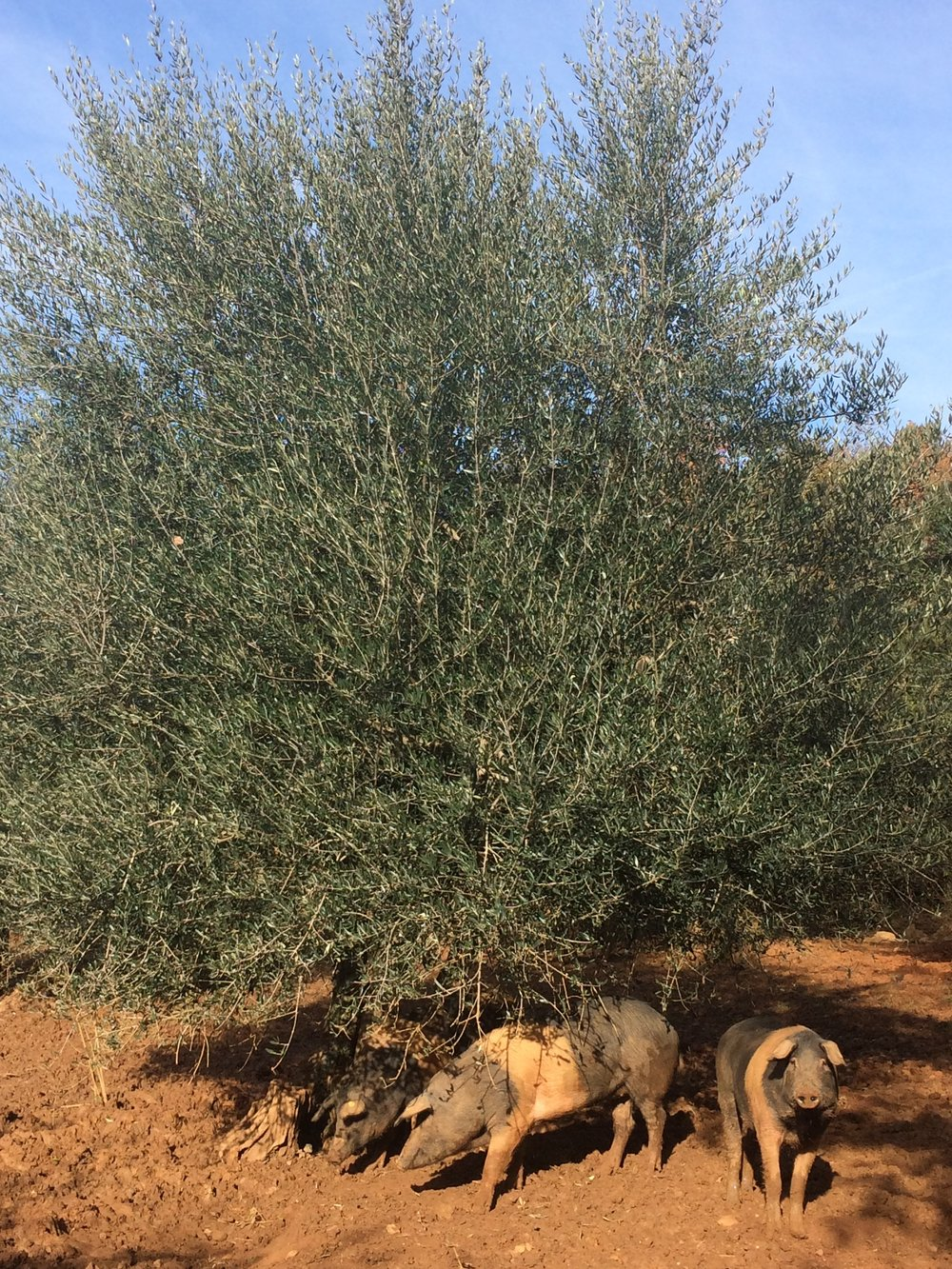 Cinta Senese hogs under an olive tree at Spannocchia, fall 2016.