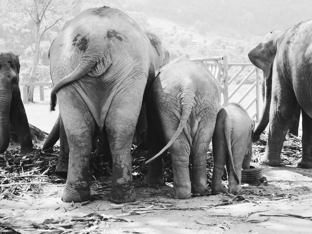 Elephant Nature Park, Chiang Mai.  October 2016.