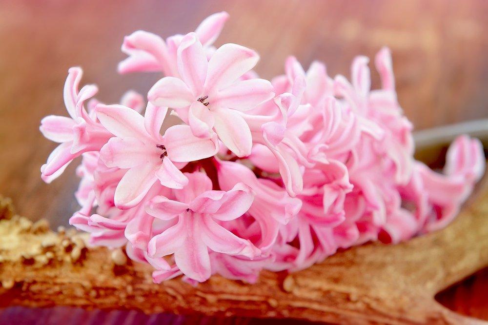 hyacinth-758929_1280.jpg