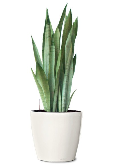 silver-queen-snake-plant-small-ornamental-plant-sanseveria-silver-queen-realornamentals.com-web.jpg