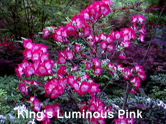 Kings Luminous Pink.JPG