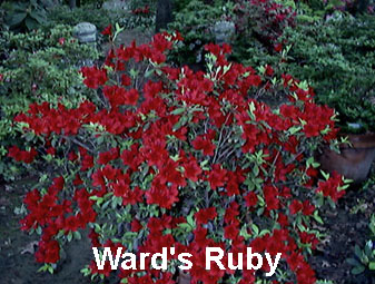 Wards Ruby.JPG