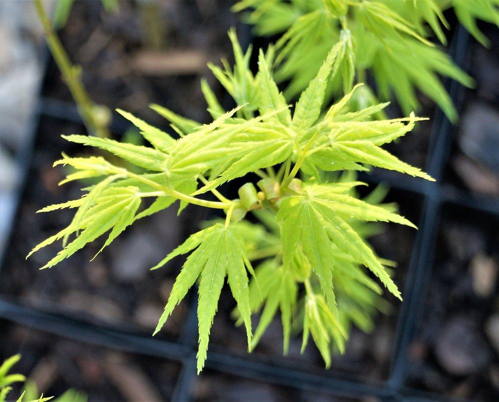 Acer palmatum 'Shidava Gold'
