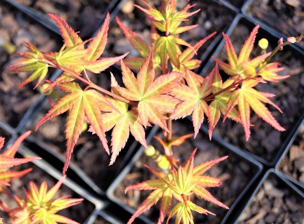 Acer palmatum 'Koto maru'