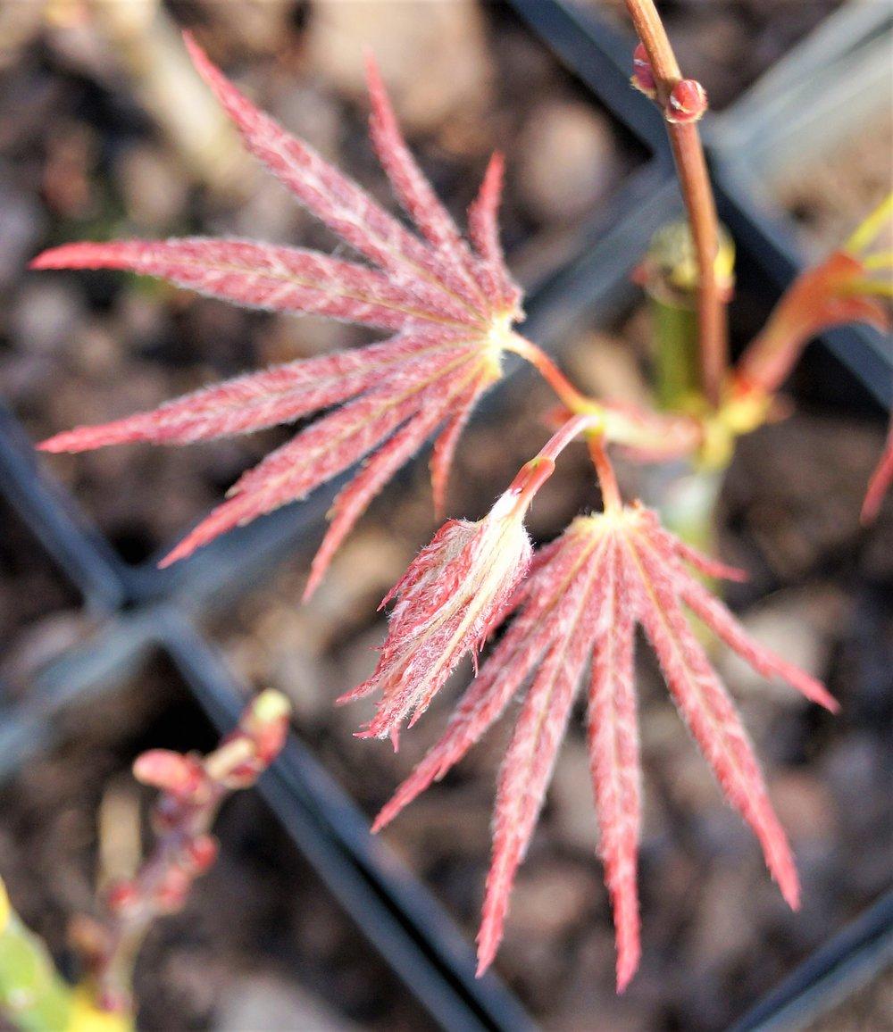 Acer shirasawanum 'Mirte'