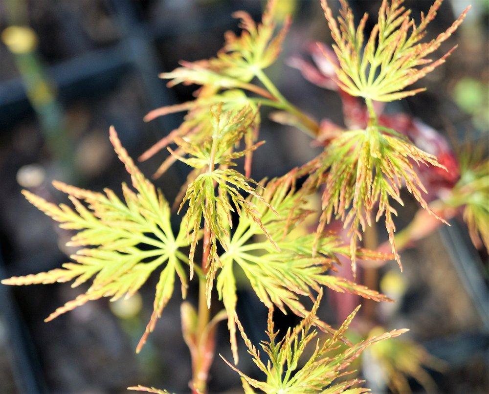 Acer palmatum dissectum 'Emerald Lace'