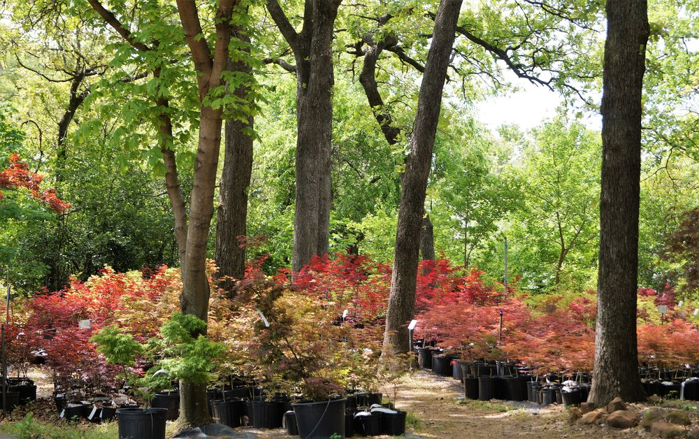 "A view from the ""office"" at Metro Maples. There are always plenty of maples to look at during lunch!"