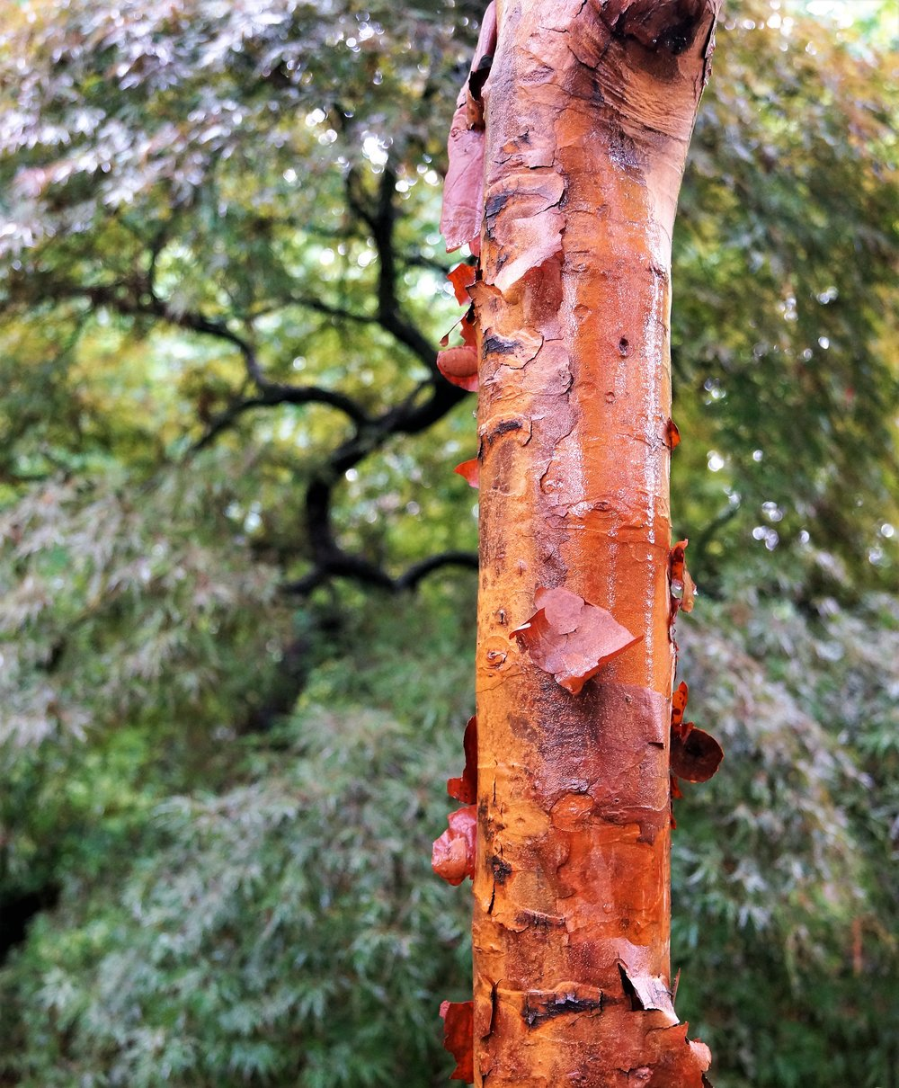 Acer griseum had some of its peeling bark knocked off by the rain, but still has a beautiful color. 'Orangeola' in the background will grab your attention any time of the year.