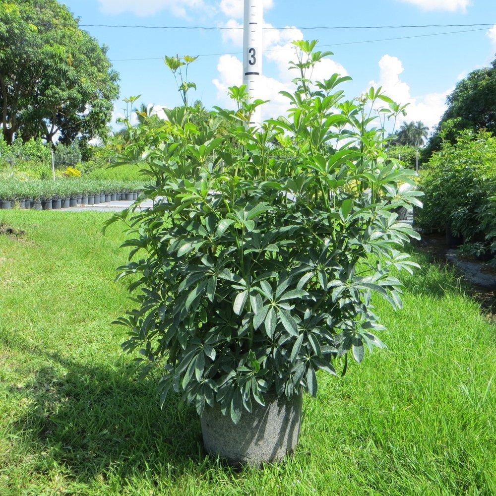 Green Arboricola - 7 gal