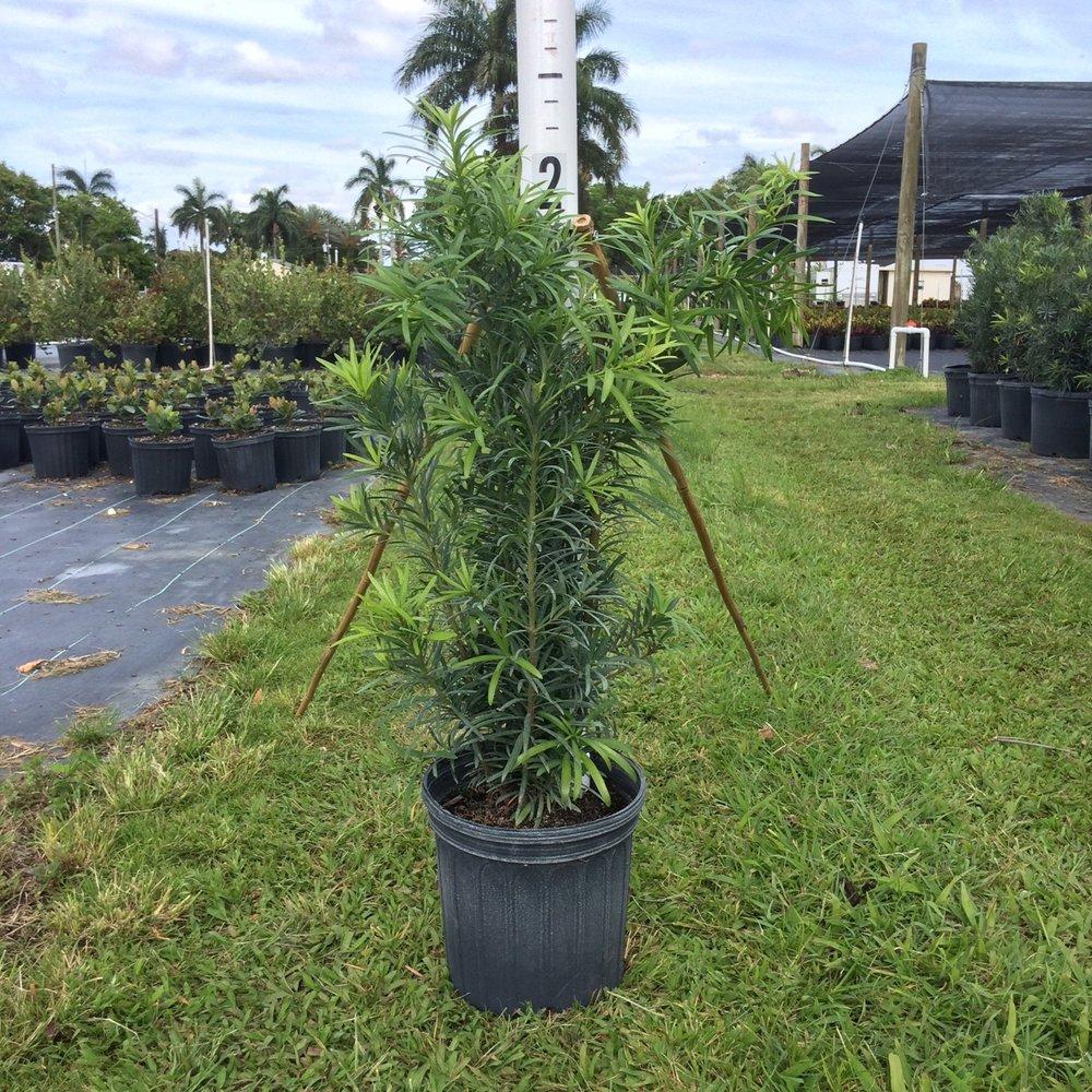 Podocarpus 'Maki' - 3 gal