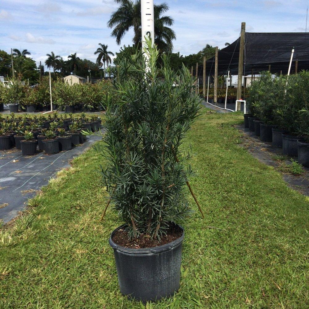 Podocarpus 'Maki' - 7 gal
