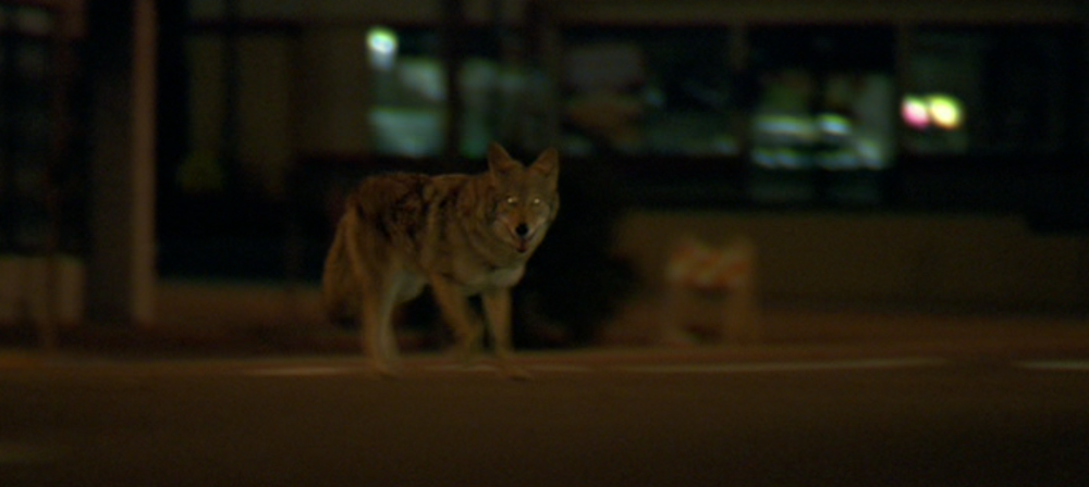 A coyote runs out in front of Max's taxi in  Collateral  (Michael Mann, DreamWorks, 2004).