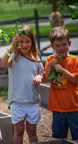 Westtown students harvest radishes from the garden.