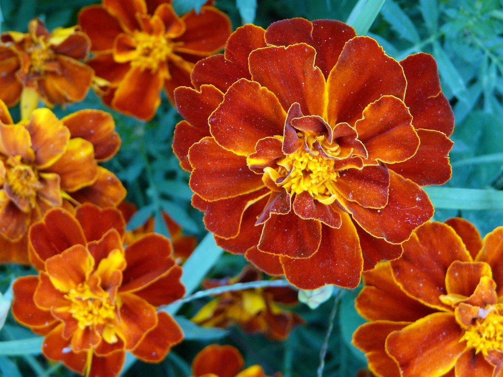 Marigolds detract pests, add beauty, are edible and attract hummingbirds bees and other pollinators to roses and other gardens.