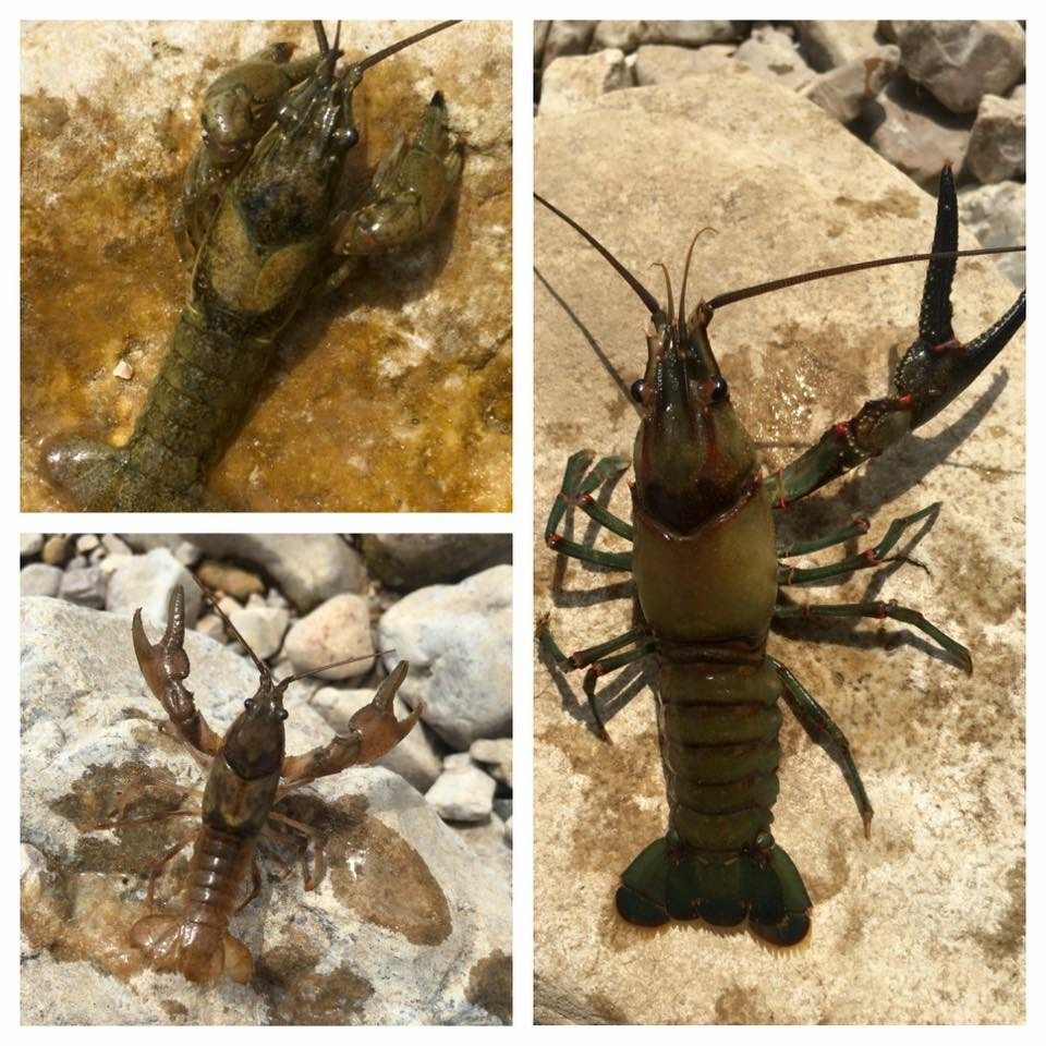 Kings River Arkansas Crayfish or Crawdad