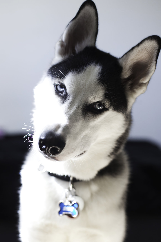 RosewoodWeddingPhotos-TorontoWeddingPhotographer-DocumentaryWeddingPhotographer-Toronto-Husky-Personal-Hannah-Blue-AdoptDontShop-Puppy