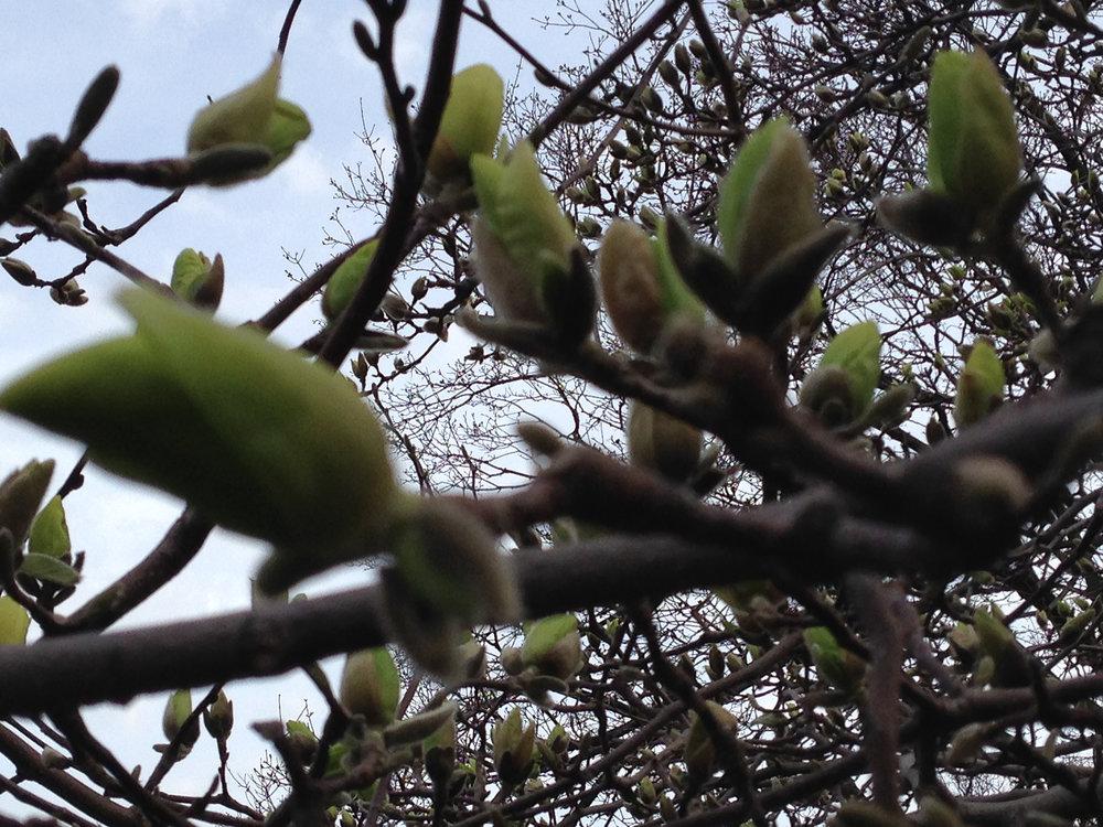 D_2014.04.magnolia.2.jpg
