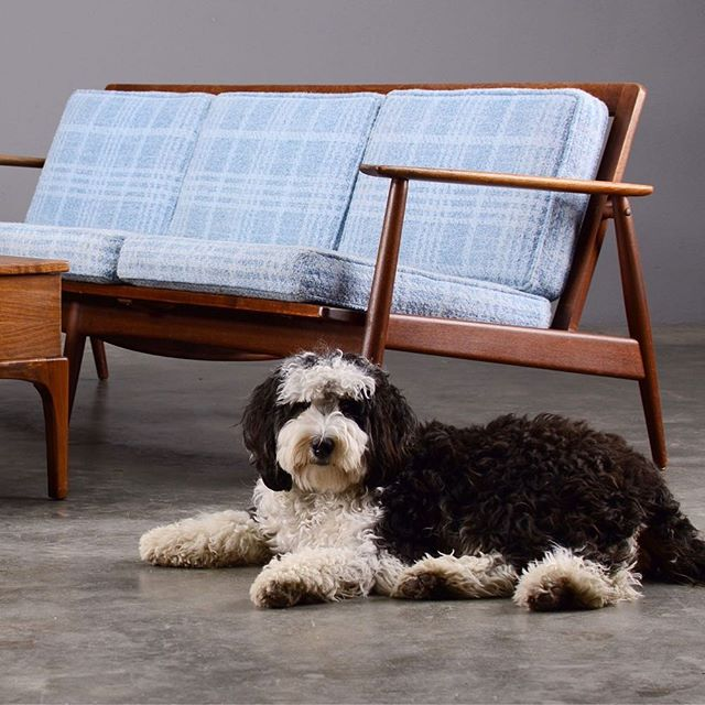 Somebody left the mop out  #madsenmodern #bernedoodle #moreddi #danishmodern #midcenturysofa #midcenturycouch