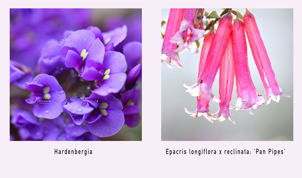 - 25th August 2017Australian Spring is just one week away.The only additional light I use when shooting with a macro lens is a reflector.The late afternoon sun backlit the 'Pan Pipes' and a small gold reflector lifted the shadows from the hot pink blossom.  I have been nurturing the Hardenbergia ground cover for eighteen months and it is finally showing off it's 1cm flowers.  Nature does the styling. I adjust to her light and breeze.