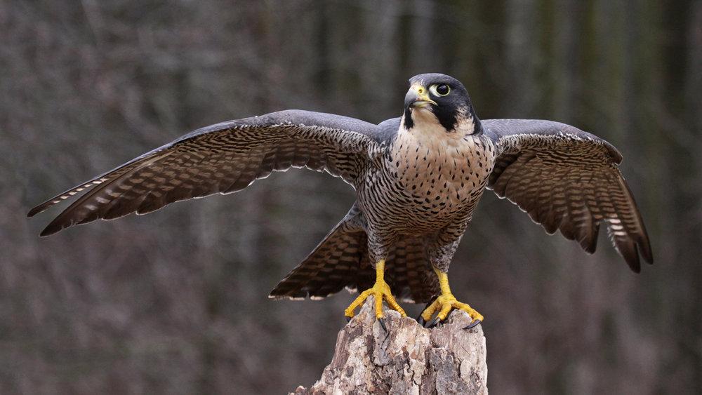 An actual falcon.
