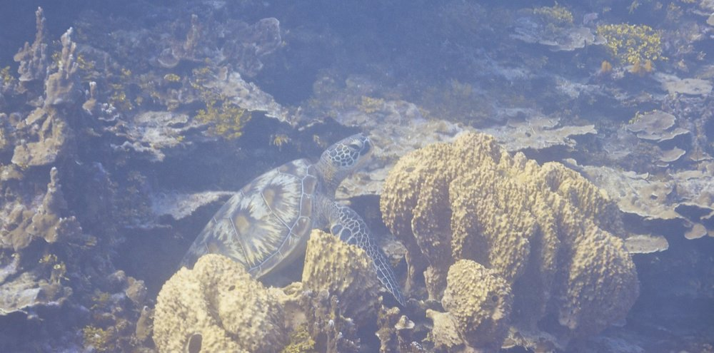 turtle coral DSC_4871_1024.jpg