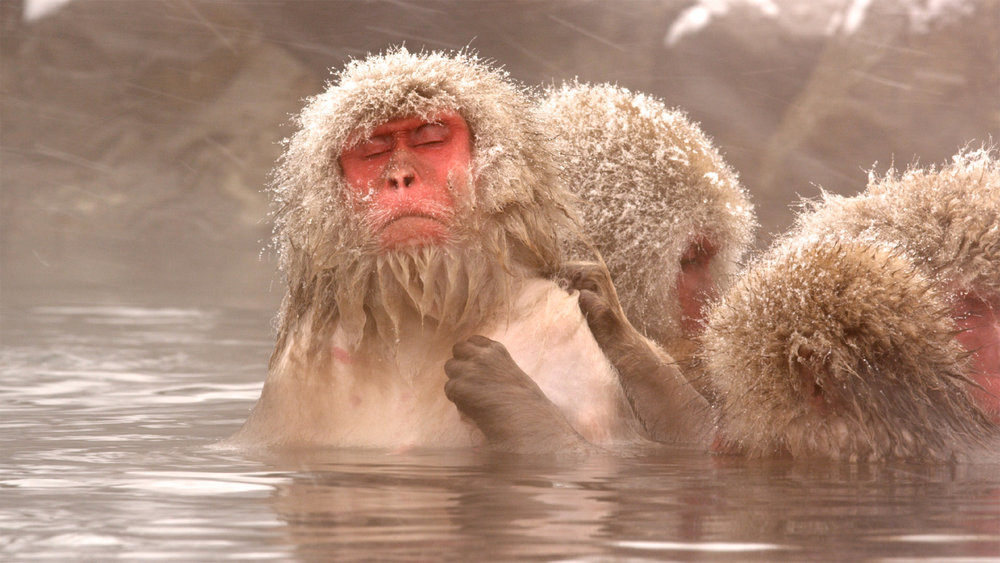SnowMonkeys-Main.jpg