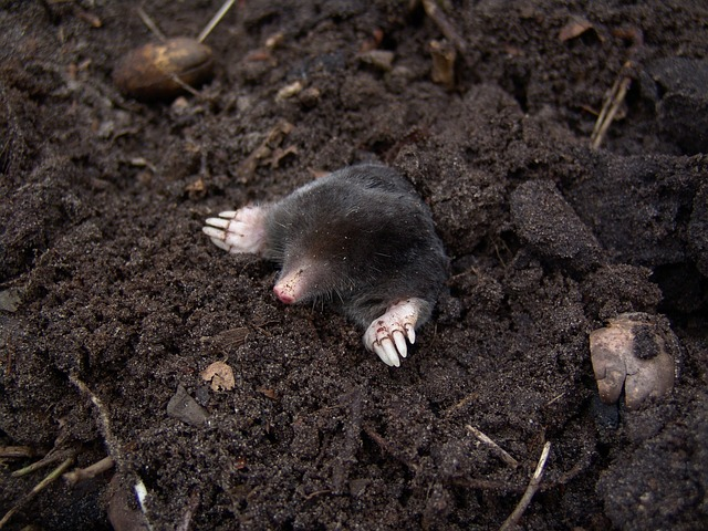 A mole in his molehill, learn Latin with Latinitium