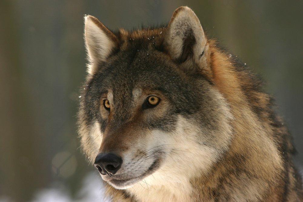 wolf-725380_1920.jpg