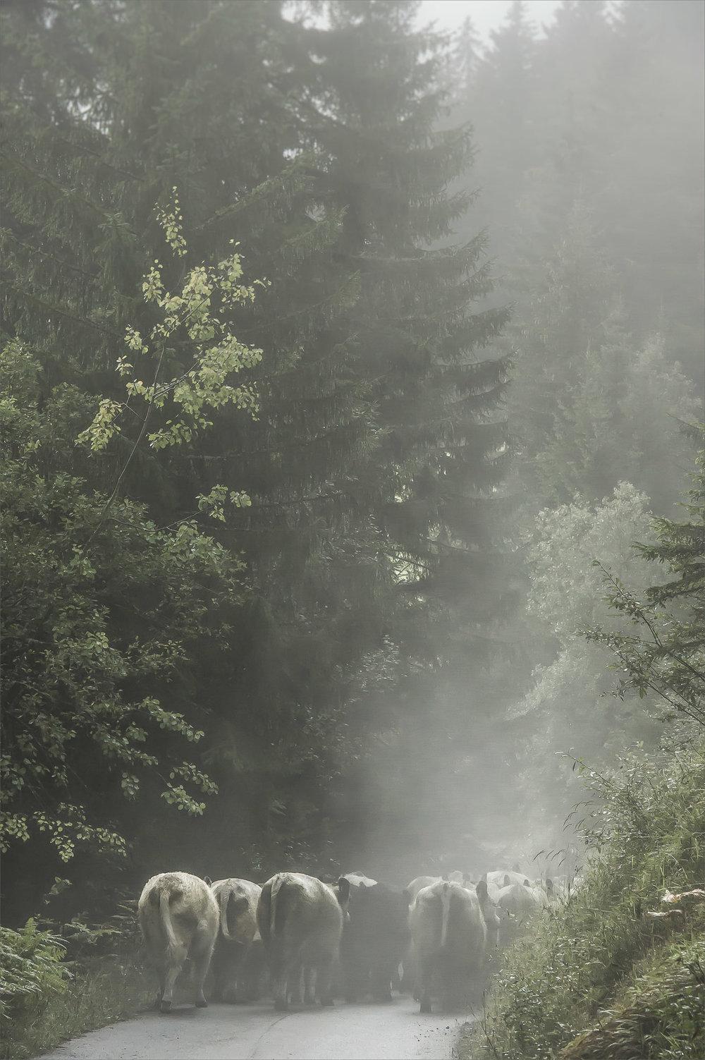 Alpabtrieb Wald #/10 fine art print Hahnemühle bis 120cm x 180cm