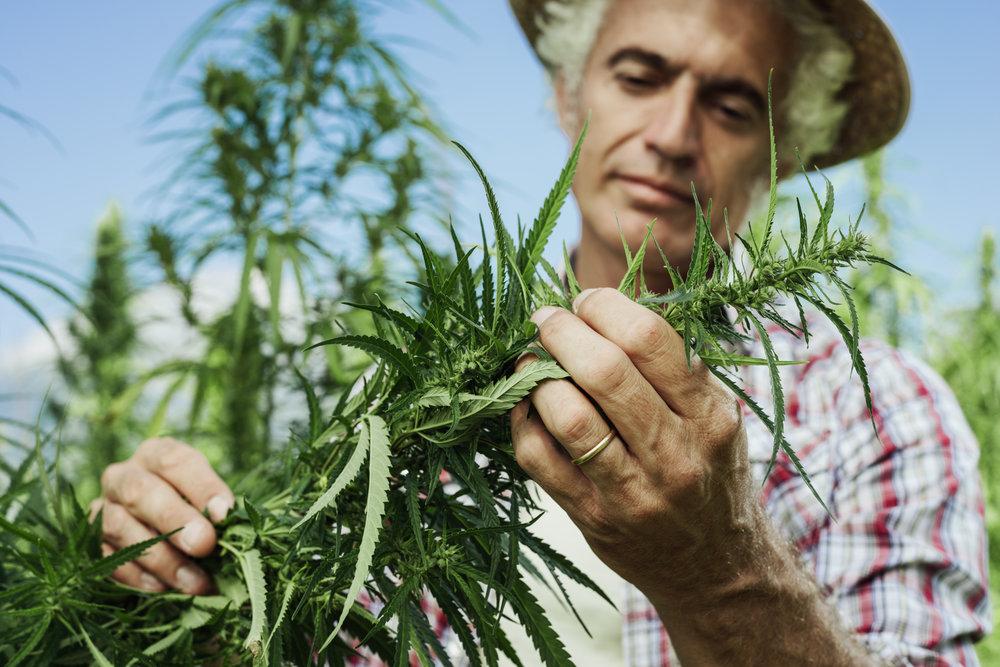 Cannabis Farmer II.jpg