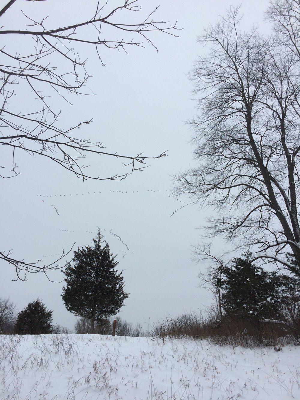 Winter Geese, Hudson Mills Metropark