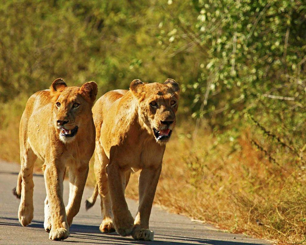 Lions_1