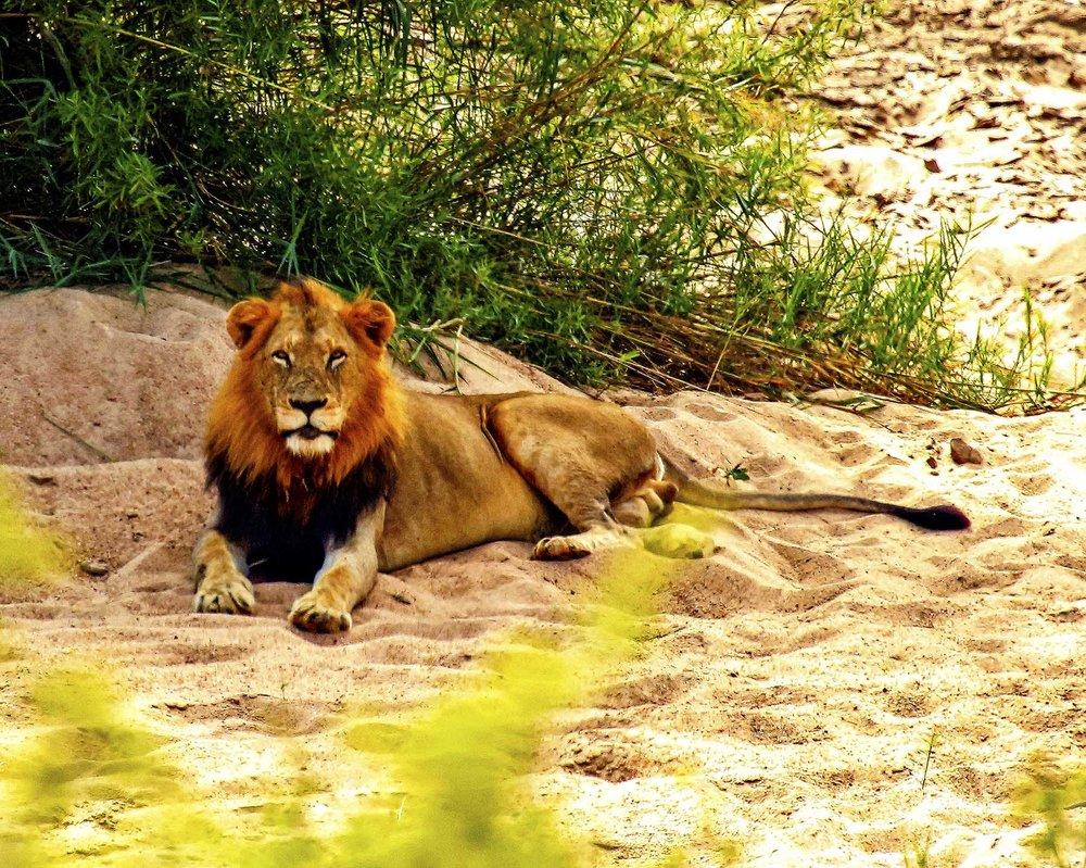 Male_Lion_1