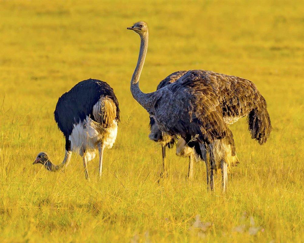 Ostriches_1