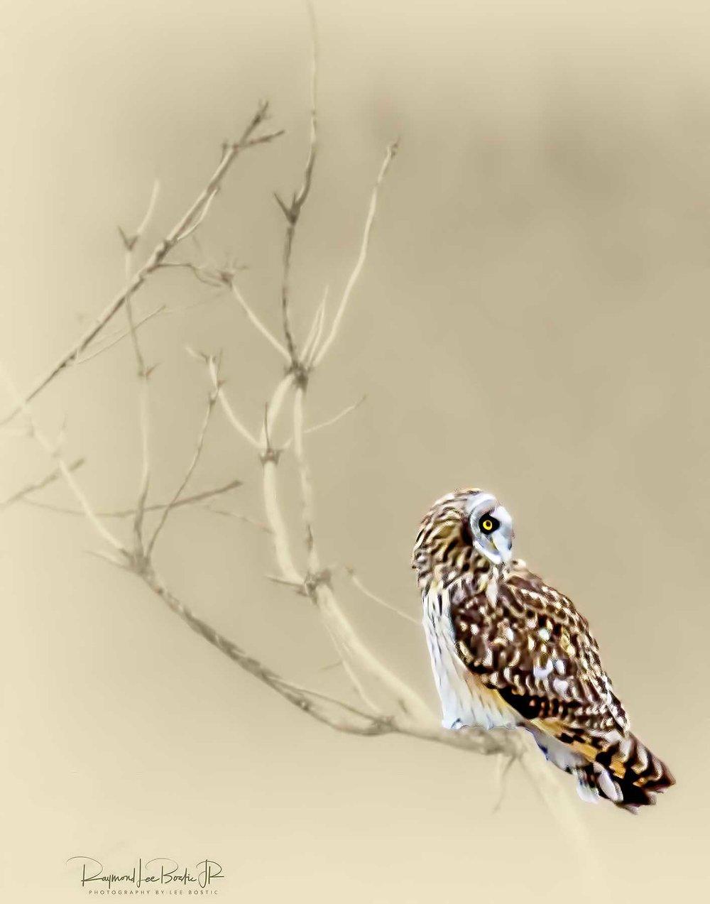 Short_Eared_Owl_3