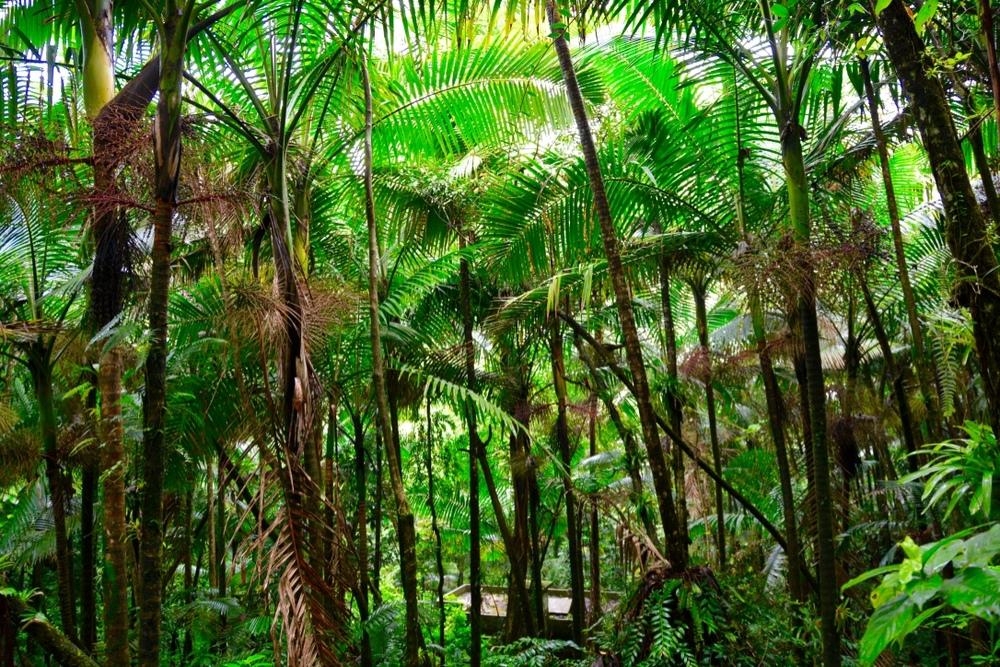 The canopy in Puerto Rico's El Yunque Rainforest