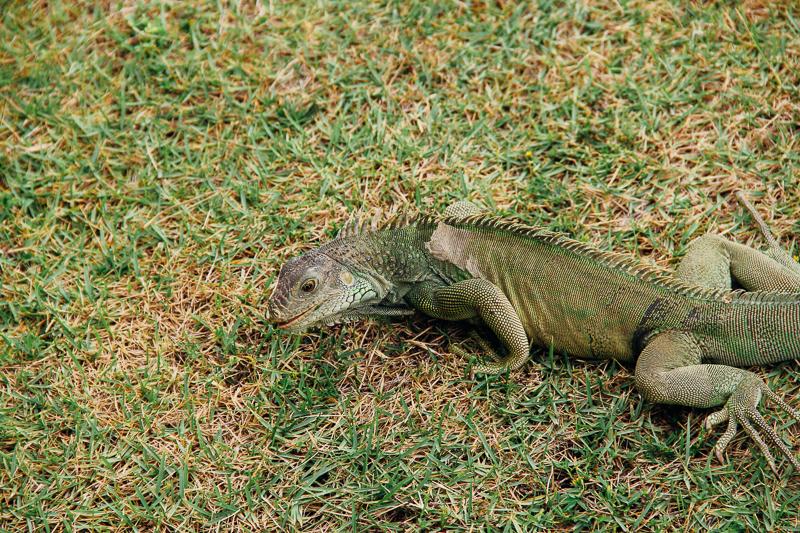 Our New Iguana Friend