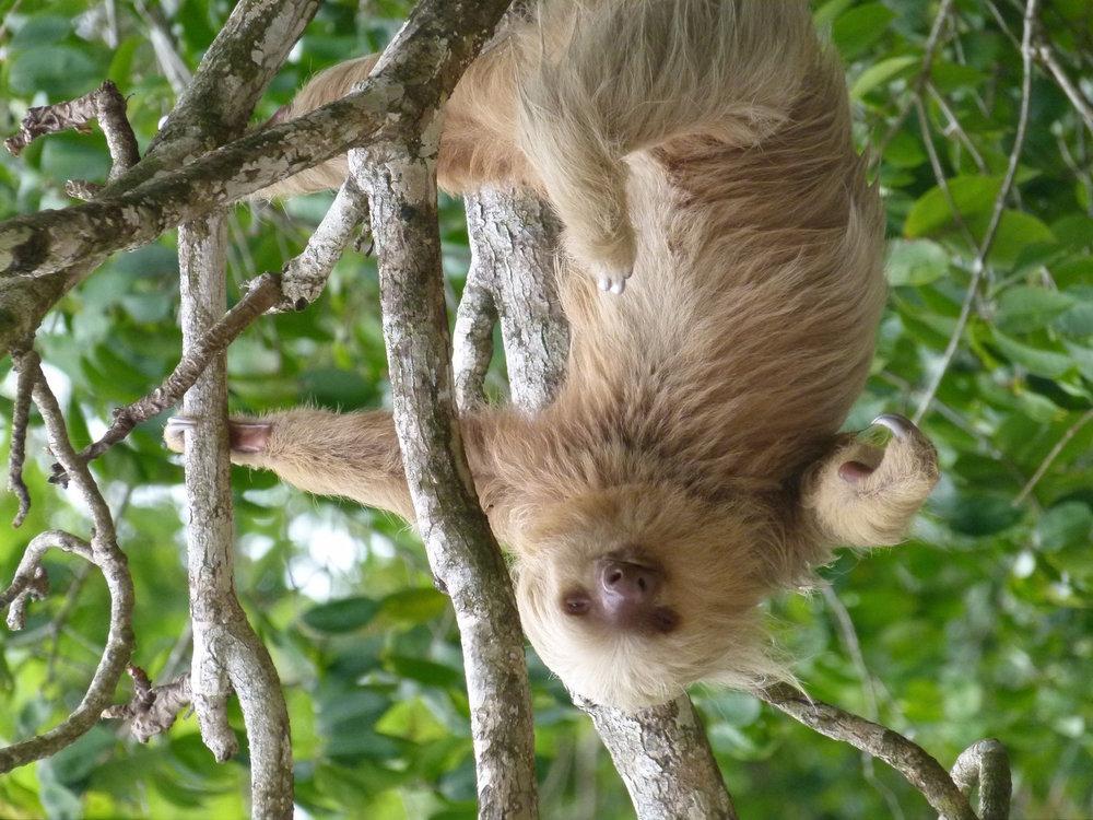 sloth-costa-rica-1333288-1279x1705.jpg