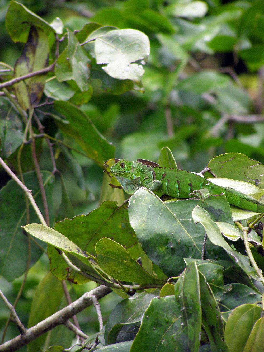 iguana-1-1348788-1279x1705.jpg