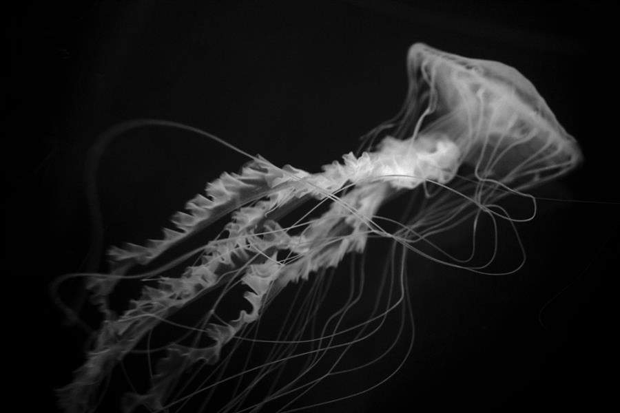Sea Nettle Series No. 2  by Kenneth Cooke, photography