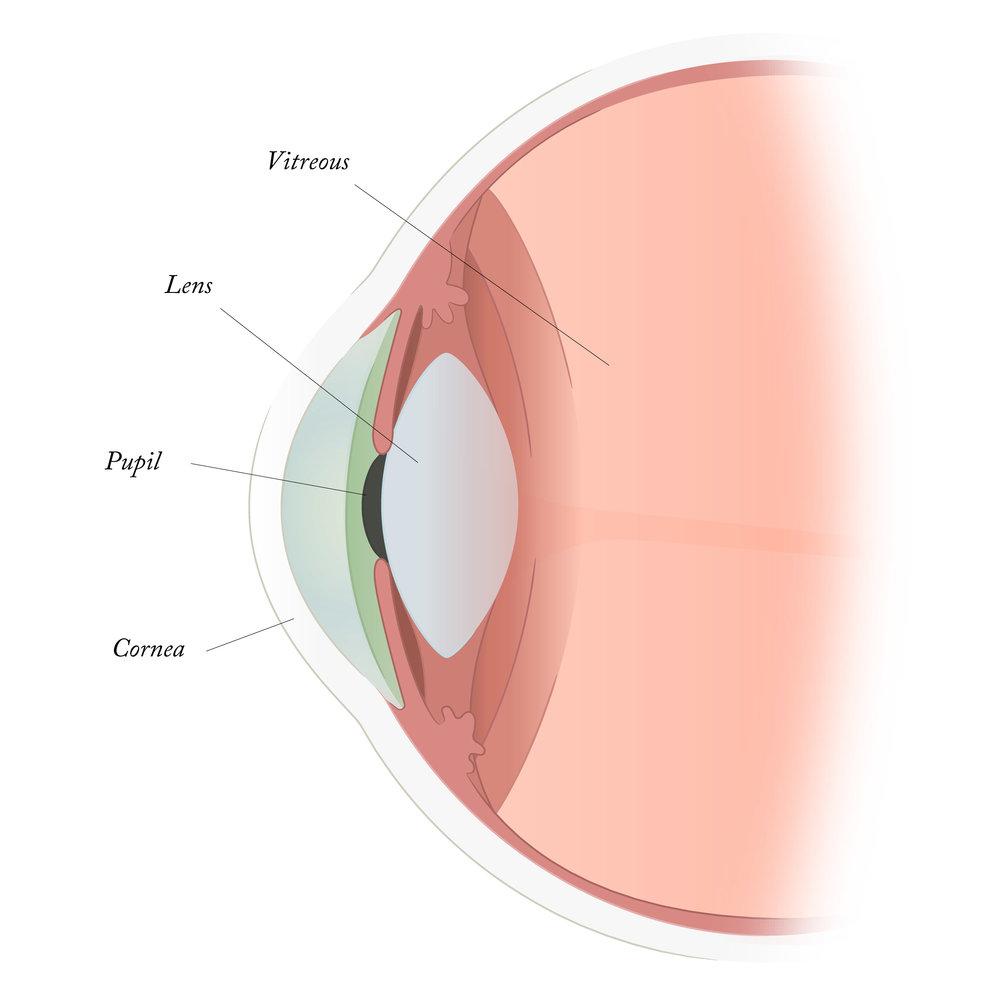 cornea-iris-pupil-vitreous.jpg