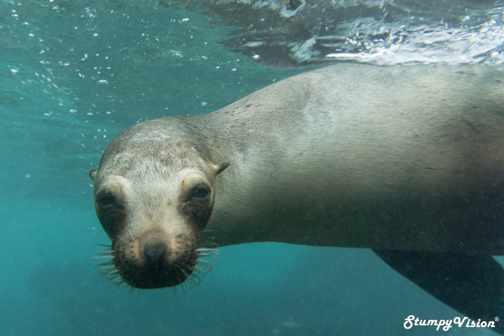 It's not hard to imagine why Sea Lions are labelled the puppy dog of the ocean.