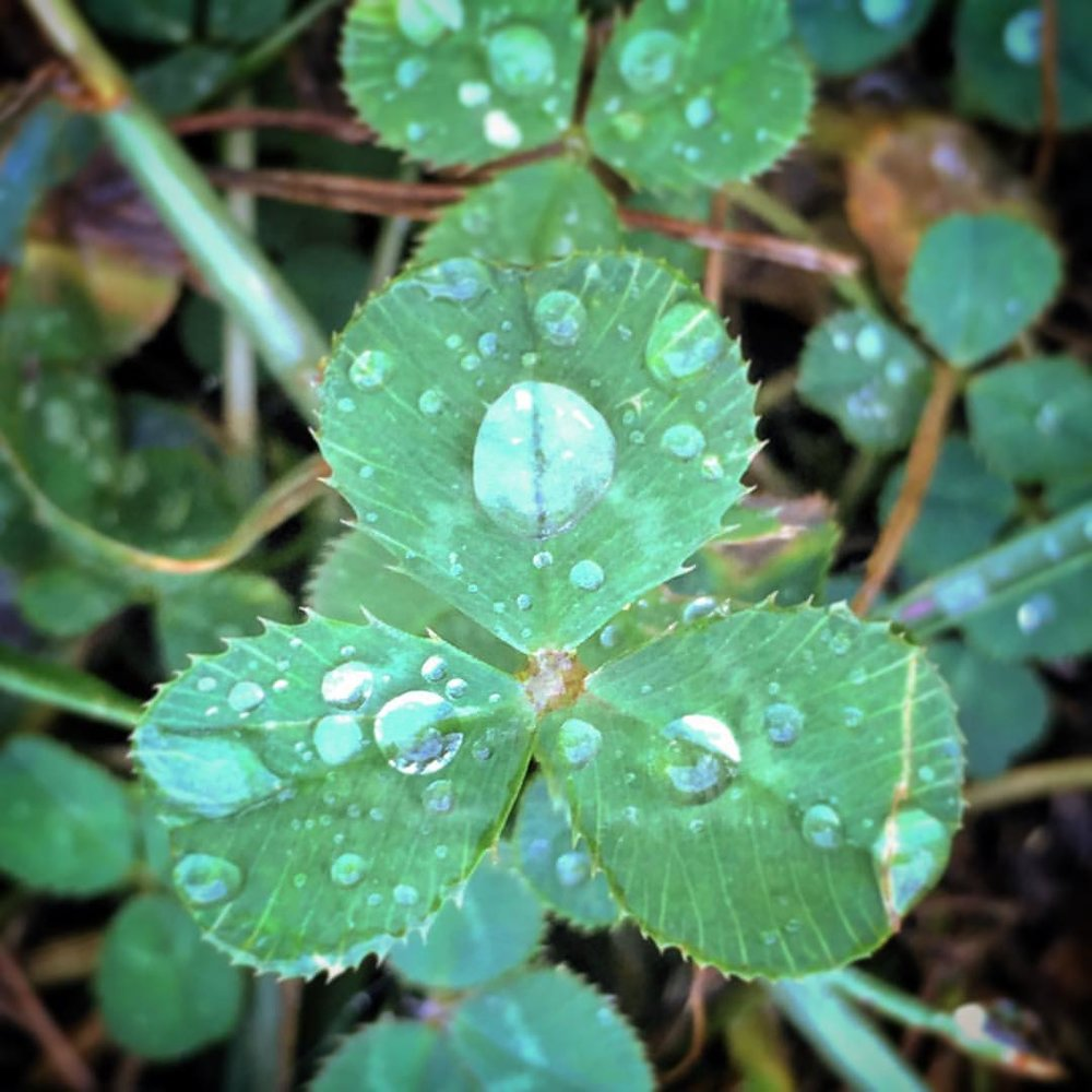 Dewdrops on shamrocks every morning. Our garden is bedazzled.