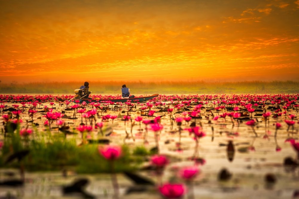 red lotus blossoms floating on a Thai lake