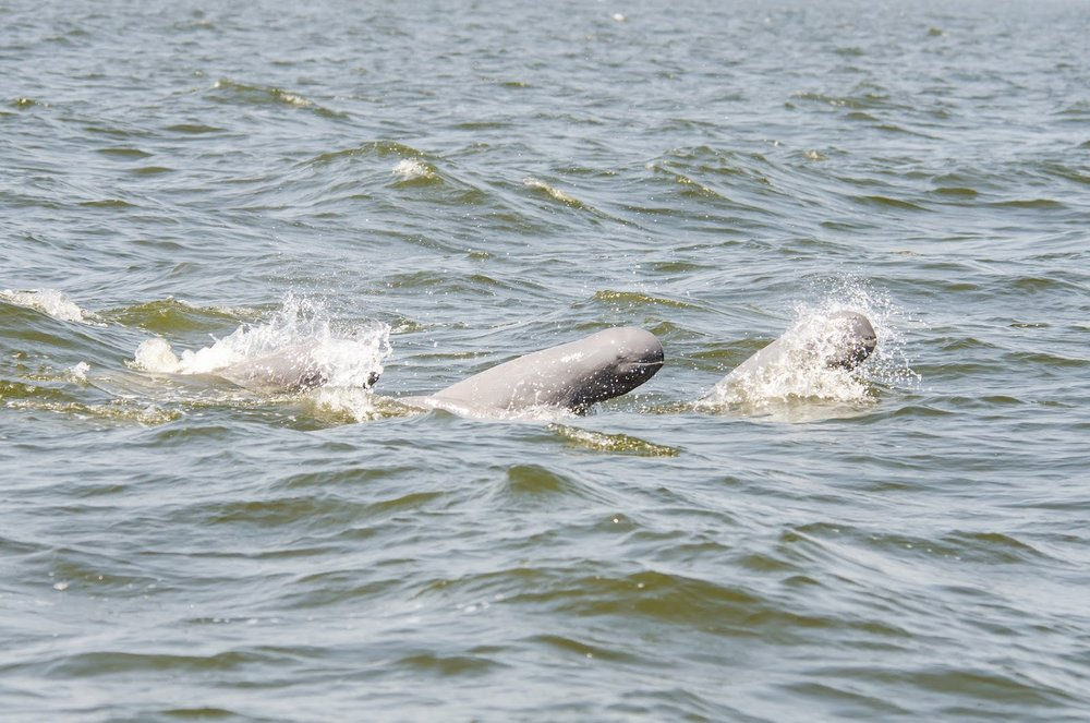 pink river dolphins in the Irrawaddy river in mandalay myanmar