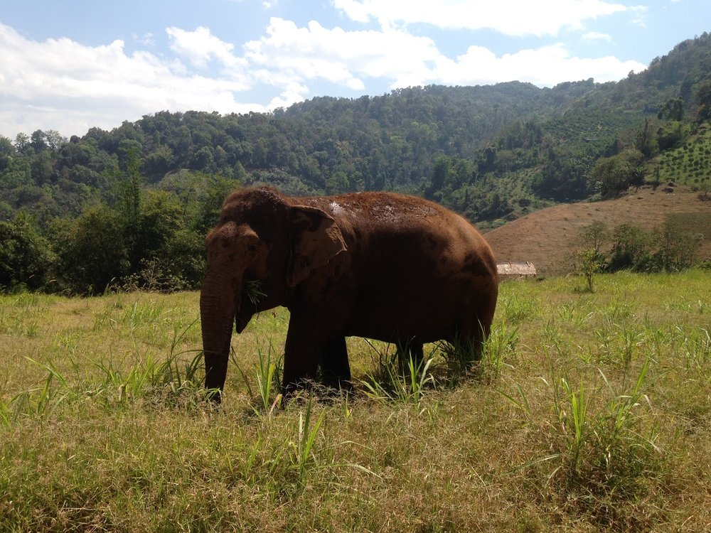 a brown elepphant walking through the highlands of northern Thailand near Chiang Mai