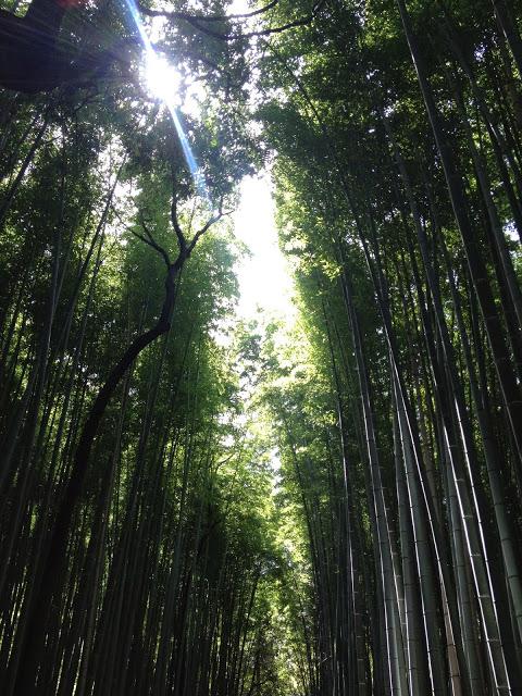 tall shoots of green bamboo in Arashiyama, Kyoto, Japan