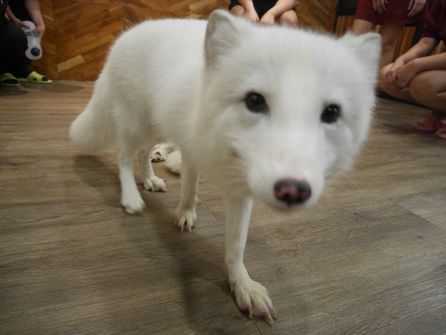 white fox at a cafe