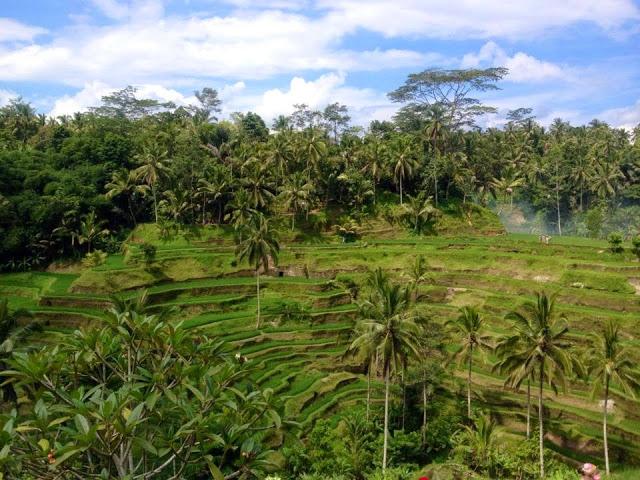 green rice terrace Ubud, Bali, Indonesia