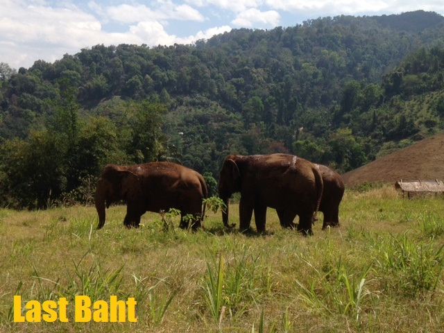 three female Asian elephants walking in the highlands of Chiang Mai, Thailand